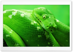 Green Boa Snake HD Wide Wallpaper for Widescreen