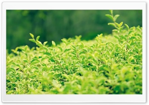 Green Bushes HD Wide Wallpaper for Widescreen