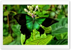 Green Butterfly HD Wide Wallpaper for Widescreen
