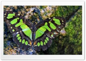 Green Butterfly HD Wide Wallpaper for Widescreen