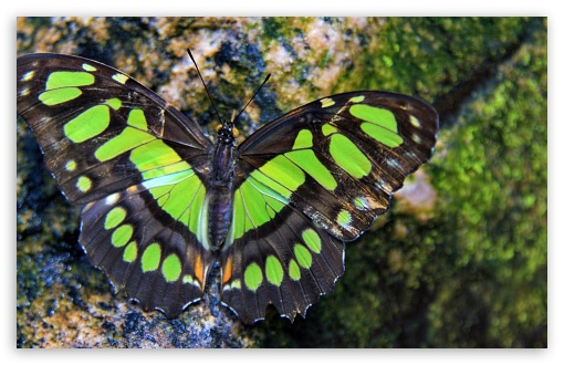 Green Butterfly HD wallpaper for Wide 16:10 5:3 Widescreen WHXGA WQXGA WUXGA WXGA WGA ; HD 16:9 High Definition WQHD QWXGA 1080p 900p 720p QHD nHD ; UHD 16:9 WQHD QWXGA 1080p 900p 720p QHD nHD ; Standard 4:3 5:4 3:2 Fullscreen UXGA XGA SVGA QSXGA SXGA DVGA HVGA HQVGA devices ( Apple PowerBook G4 iPhone 4 3G 3GS iPod Touch ) ; iPad 1/2/Mini ; Mobile 4:3 5:3 3:2 16:9 5:4 - UXGA XGA SVGA WGA DVGA HVGA HQVGA devices ( Apple PowerBook G4 iPhone 4 3G 3GS iPod Touch ) WQHD QWXGA 1080p 900p 720p QHD nHD QSXGA SXGA ;