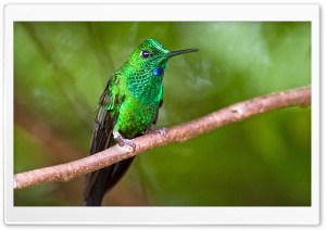 Green-crowned Brilliant Hummingbird macro Ultra HD Wallpaper for 4K UHD Widescreen desktop, tablet & smartphone
