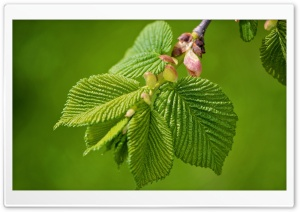 Green Elm Leaves Spring HD Wide Wallpaper for Widescreen