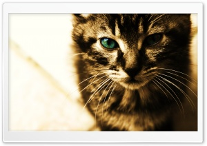 Green Eyes Kitten HD Wide Wallpaper for Widescreen