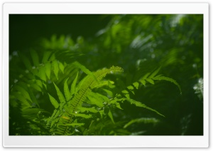 Green Ferns Macro HD Wide Wallpaper for Widescreen