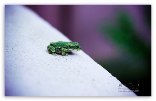 Green Frog HD wallpaper for Standard 4:3 5:4 Fullscreen UXGA XGA SVGA QSXGA SXGA ; Wide 16:10 5:3 Widescreen WHXGA WQXGA WUXGA WXGA WGA ; HD 16:9 High Definition WQHD QWXGA 1080p 900p 720p QHD nHD ; Other 3:2 DVGA HVGA HQVGA devices ( Apple PowerBook G4 iPhone 4 3G 3GS iPod Touch ) ; Mobile VGA WVGA iPhone iPad PSP Phone - VGA QVGA Smartphone ( PocketPC GPS iPod Zune BlackBerry HTC Samsung LG Nokia Eten Asus ) WVGA WQVGA Smartphone ( HTC Samsung Sony Ericsson LG Vertu MIO ) HVGA Smartphone ( Apple iPhone iPod BlackBerry HTC Samsung Nokia ) Sony PSP Zune HD Zen ;