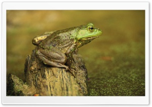 Green Frog And Pond Cincinnati Ohio Rana Clamitans HD Wide Wallpaper for 4K UHD Widescreen desktop & smartphone