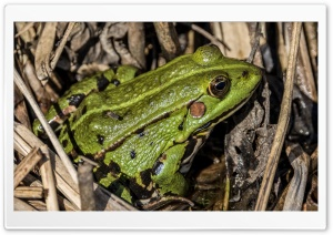Green Frog in Grass HD Wide Wallpaper for Widescreen