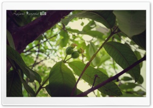 Green Fruit HD Wide Wallpaper for Widescreen
