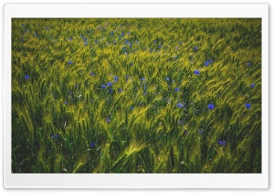 Green Grain Field, Blue Wildflowers HD Wide Wallpaper for 4K UHD Widescreen desktop & smartphone