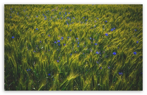 Green Grain Field, Blue Wildflowers ❤ 4K UHD Wallpaper for Wide 16:10 5:3 Widescreen WHXGA WQXGA WUXGA WXGA WGA ; UltraWide 21:9 ; 4K UHD 16:9 Ultra High Definition 2160p 1440p 1080p 900p 720p ; Standard 4:3 5:4 3:2 Fullscreen UXGA XGA SVGA QSXGA SXGA DVGA HVGA HQVGA ( Apple PowerBook G4 iPhone 4 3G 3GS iPod Touch ) ; Smartphone 16:9 3:2 5:3 2160p 1440p 1080p 900p 720p DVGA HVGA HQVGA ( Apple PowerBook G4 iPhone 4 3G 3GS iPod Touch ) WGA ; Tablet 1:1 ; iPad 1/2/Mini ; Mobile 4:3 5:3 3:2 16:9 5:4 - UXGA XGA SVGA WGA DVGA HVGA HQVGA ( Apple PowerBook G4 iPhone 4 3G 3GS iPod Touch ) 2160p 1440p 1080p 900p 720p QSXGA SXGA ; Dual 16:10 5:3 16:9 4:3 5:4 3:2 WHXGA WQXGA WUXGA WXGA WGA 2160p 1440p 1080p 900p 720p UXGA XGA SVGA QSXGA SXGA DVGA HVGA HQVGA ( Apple PowerBook G4 iPhone 4 3G 3GS iPod Touch ) ;