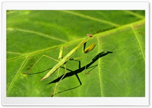 Green Grasshopper HD Wide Wallpaper for Widescreen
