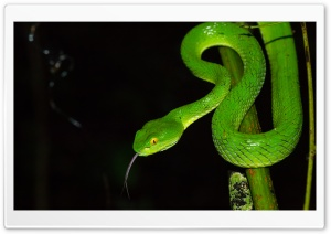 Green large eyed Pit Viper Snake, Trimeresurus Macrops HD Wide Wallpaper for 4K UHD Widescreen desktop & smartphone