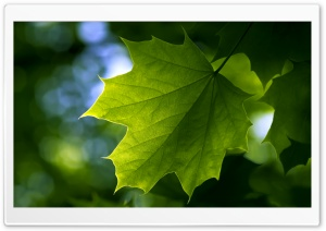 Green Leaf HD Wide Wallpaper for Widescreen