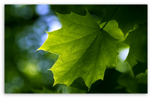 Green Leaf ❤ 4K UHD Wallpaper for Wide 16:10 5:3 Widescreen WHXGA WQXGA WUXGA WXGA WGA ; 4K UHD 16:9 Ultra High Definition 2160p 1440p 1080p 900p 720p ; Standard 4:3 5:4 3:2 Fullscreen UXGA XGA SVGA QSXGA SXGA DVGA HVGA HQVGA ( Apple PowerBook G4 iPhone 4 3G 3GS iPod Touch ) ; Tablet 1:1 ; iPad 1/2/Mini ; Mobile 4:3 5:3 3:2 16:9 5:4 - UXGA XGA SVGA WGA DVGA HVGA HQVGA ( Apple PowerBook G4 iPhone 4 3G 3GS iPod Touch ) 2160p 1440p 1080p 900p 720p QSXGA SXGA ;