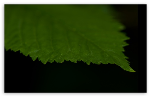 Green Leaf Against A Black Background ❤ 4K UHD Wallpaper for Wide 16:10 5:3 Widescreen WHXGA WQXGA WUXGA WXGA WGA ; 4K UHD 16:9 Ultra High Definition 2160p 1440p 1080p 900p 720p ; Standard 4:3 5:4 3:2 Fullscreen UXGA XGA SVGA QSXGA SXGA DVGA HVGA HQVGA ( Apple PowerBook G4 iPhone 4 3G 3GS iPod Touch ) ; Tablet 1:1 ; iPad 1/2/Mini ; Mobile 4:3 5:3 3:2 16:9 5:4 - UXGA XGA SVGA WGA DVGA HVGA HQVGA ( Apple PowerBook G4 iPhone 4 3G 3GS iPod Touch ) 2160p 1440p 1080p 900p 720p QSXGA SXGA ;