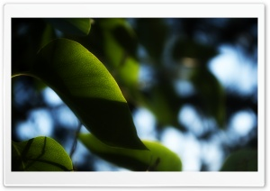 Green Leaf, Close Up HD Wide Wallpaper for Widescreen