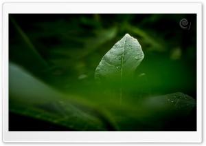 Green Leaves Ultra HD Wallpaper for 4K UHD Widescreen desktop, tablet & smartphone