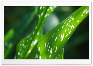 Green Leaves Ultra HD Wallpaper for 4K UHD Widescreen desktop, tablet & smartphone