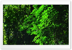 Green Leaves HD Wide Wallpaper for Widescreen