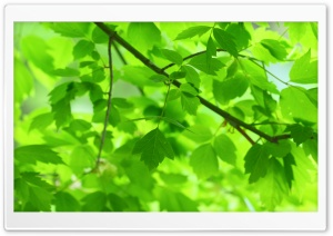 Green Leaves and Branches HD Wide Wallpaper for Widescreen