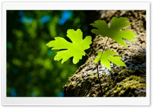 Green Leaves and Moss HD Wide Wallpaper for Widescreen