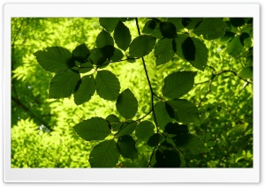 Green Leaves Branch HD Wide Wallpaper for Widescreen