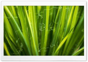 Green Leaves, Macro HD Wide Wallpaper for Widescreen