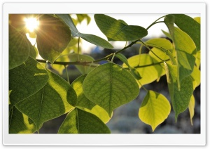 Green Leaves, Summer HD Wide Wallpaper for Widescreen