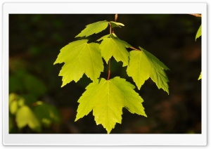 Green Leaves Under Sun Light HD Wide Wallpaper for Widescreen