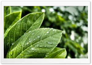 Green Leaves With Water Drops HD Wide Wallpaper for Widescreen