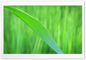 Green Long Leaf HD Wide Wallpaper for Widescreen