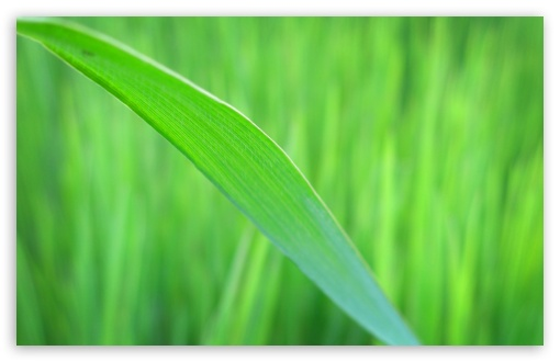 Green Long Leaf HD wallpaper for Wide 16:10 5:3 Widescreen WHXGA WQXGA WUXGA WXGA WGA ; HD 16:9 High Definition WQHD QWXGA 1080p 900p 720p QHD nHD ; Standard 4:3 5:4 3:2 Fullscreen UXGA XGA SVGA QSXGA SXGA DVGA HVGA HQVGA devices ( Apple PowerBook G4 iPhone 4 3G 3GS iPod Touch ) ; iPad 1/2/Mini ; Mobile 4:3 5:3 3:2 16:9 5:4 - UXGA XGA SVGA WGA DVGA HVGA HQVGA devices ( Apple PowerBook G4 iPhone 4 3G 3GS iPod Touch ) WQHD QWXGA 1080p 900p 720p QHD nHD QSXGA SXGA ;