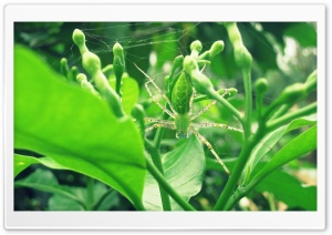 Green Lynx Spider HD Wide Wallpaper for Widescreen