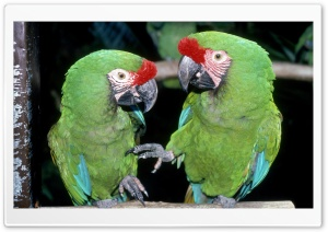 Green Macaws HD Wide Wallpaper for Widescreen