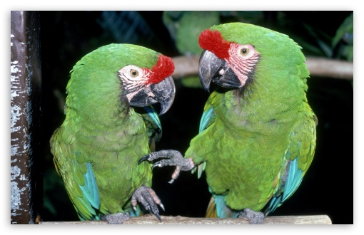 Green Macaws HD wallpaper for Wide 16:10 5:3 Widescreen WHXGA WQXGA WUXGA WXGA WGA ; Standard 4:3 5:4 3:2 Fullscreen UXGA XGA SVGA QSXGA SXGA DVGA HVGA HQVGA devices ( Apple PowerBook G4 iPhone 4 3G 3GS iPod Touch ) ; iPad 1/2/Mini ; Mobile 4:3 5:3 3:2 5:4 - UXGA XGA SVGA WGA DVGA HVGA HQVGA devices ( Apple PowerBook G4 iPhone 4 3G 3GS iPod Touch ) QSXGA SXGA ;