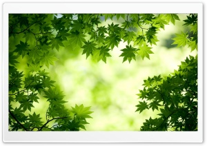 Green Maple Leaves HD Wide Wallpaper for Widescreen