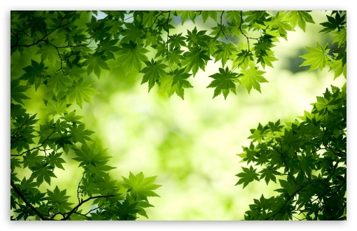 Green Maple Leaves HD wallpaper for Wide 16:10 5:3 Widescreen WHXGA WQXGA WUXGA WXGA WGA ; HD 16:9 High Definition WQHD QWXGA 1080p 900p 720p QHD nHD ; Standard 4:3 5:4 3:2 Fullscreen UXGA XGA SVGA QSXGA SXGA DVGA HVGA HQVGA devices ( Apple PowerBook G4 iPhone 4 3G 3GS iPod Touch ) ; Tablet 1:1 ; iPad 1/2/Mini ; Mobile 4:3 5:3 3:2 16:9 5:4 - UXGA XGA SVGA WGA DVGA HVGA HQVGA devices ( Apple PowerBook G4 iPhone 4 3G 3GS iPod Touch ) WQHD QWXGA 1080p 900p 720p QHD nHD QSXGA SXGA ;