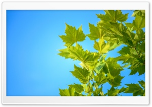 Green Maple Leaves, Blue Sky HD Wide Wallpaper for 4K UHD Widescreen desktop & smartphone