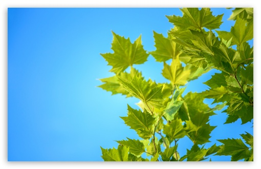 Green Maple Leaves, Blue Sky ❤ 4K UHD Wallpaper for Wide 16:10 5:3 Widescreen WHXGA WQXGA WUXGA WXGA WGA ; UltraWide 21:9 24:10 ; 4K UHD 16:9 Ultra High Definition 2160p 1440p 1080p 900p 720p ; UHD 16:9 2160p 1440p 1080p 900p 720p ; Standard 4:3 5:4 3:2 Fullscreen UXGA XGA SVGA QSXGA SXGA DVGA HVGA HQVGA ( Apple PowerBook G4 iPhone 4 3G 3GS iPod Touch ) ; Smartphone 16:9 3:2 5:3 2160p 1440p 1080p 900p 720p DVGA HVGA HQVGA ( Apple PowerBook G4 iPhone 4 3G 3GS iPod Touch ) WGA ; Tablet 1:1 ; iPad 1/2/Mini ; Mobile 4:3 5:3 3:2 16:9 5:4 - UXGA XGA SVGA WGA DVGA HVGA HQVGA ( Apple PowerBook G4 iPhone 4 3G 3GS iPod Touch ) 2160p 1440p 1080p 900p 720p QSXGA SXGA ;