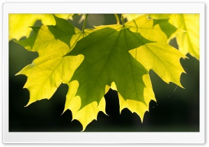 Green Maple Leaves, Spring HD Wide Wallpaper for Widescreen