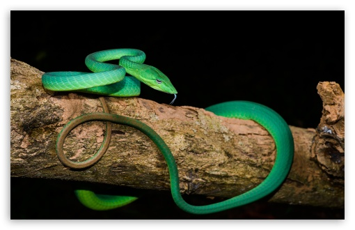 Green Oriental Whip Snake Tree UltraHD Wallpaper for Wide 16:10 5:3 Widescreen WHXGA WQXGA WUXGA WXGA WGA ; UltraWide 21:9 24:10 ; 8K UHD TV 16:9 Ultra High Definition 2160p 1440p 1080p 900p 720p ; UHD 16:9 2160p 1440p 1080p 900p 720p ; Standard 4:3 5:4 3:2 Fullscreen UXGA XGA SVGA QSXGA SXGA DVGA HVGA HQVGA ( Apple PowerBook G4 iPhone 4 3G 3GS iPod Touch ) ; Smartphone 16:9 3:2 5:3 2160p 1440p 1080p 900p 720p DVGA HVGA HQVGA ( Apple PowerBook G4 iPhone 4 3G 3GS iPod Touch ) WGA ; Tablet 1:1 ; iPad 1/2/Mini ; Mobile 4:3 5:3 3:2 16:9 5:4 - UXGA XGA SVGA WGA DVGA HVGA HQVGA ( Apple PowerBook G4 iPhone 4 3G 3GS iPod Touch ) 2160p 1440p 1080p 900p 720p QSXGA SXGA ;