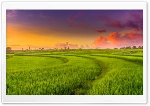 Green Paddy Field Ultra HD Wallpaper for 4K UHD Widescreen desktop, tablet & smartphone