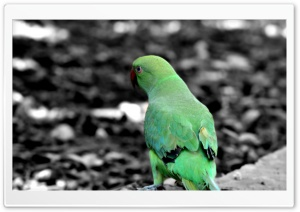 Green Parrot HD Wide Wallpaper for Widescreen