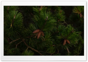 Green Pine Tree Branches Ultra HD Wallpaper for 4K UHD Widescreen desktop, tablet & smartphone
