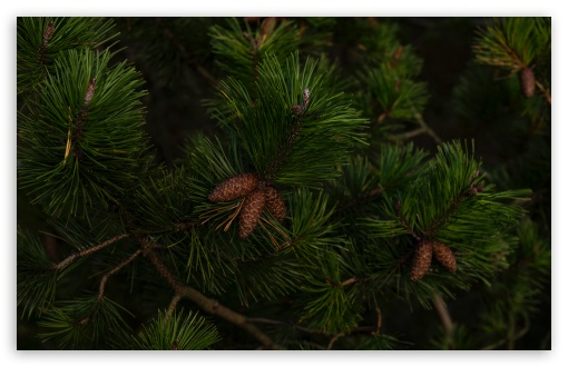 Green Pine Tree Branches ❤ 4K UHD Wallpaper for Wide 16:10 5:3 Widescreen WHXGA WQXGA WUXGA WXGA WGA ; UltraWide 21:9 24:10 ; 4K UHD 16:9 Ultra High Definition 2160p 1440p 1080p 900p 720p ; UHD 16:9 2160p 1440p 1080p 900p 720p ; Standard 4:3 5:4 3:2 Fullscreen UXGA XGA SVGA QSXGA SXGA DVGA HVGA HQVGA ( Apple PowerBook G4 iPhone 4 3G 3GS iPod Touch ) ; Smartphone 16:9 3:2 5:3 2160p 1440p 1080p 900p 720p DVGA HVGA HQVGA ( Apple PowerBook G4 iPhone 4 3G 3GS iPod Touch ) WGA ; Tablet 1:1 ; iPad 1/2/Mini ; Mobile 4:3 5:3 3:2 16:9 5:4 - UXGA XGA SVGA WGA DVGA HVGA HQVGA ( Apple PowerBook G4 iPhone 4 3G 3GS iPod Touch ) 2160p 1440p 1080p 900p 720p QSXGA SXGA ;