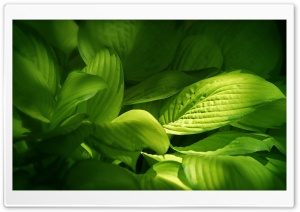 Green Plant Leaves HD Wide Wallpaper for Widescreen