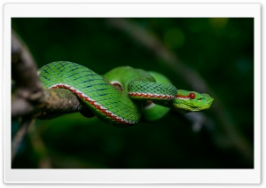 Green Popes Pit Tree Viper Venomous Snake, Trimeresurus Popeorum Ultra HD Wallpaper for 4K UHD Widescreen desktop, tablet & smartphone