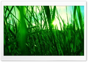 Green Reed HD Wide Wallpaper for Widescreen