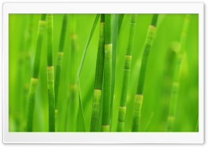 Green Reed Grass HD Wide Wallpaper for Widescreen